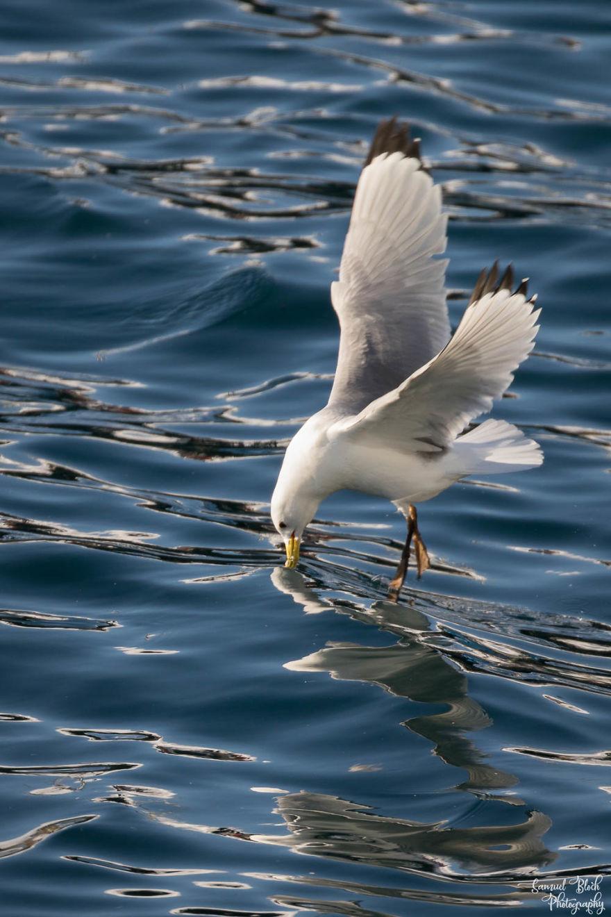 A Kittiwake Grabs Something In Båtsfjord Harbour