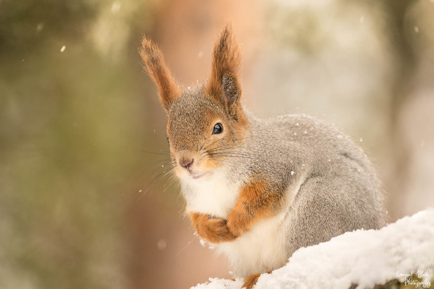 A Red Squirrel In Light Snowfall, In The Norwegian Taiga
