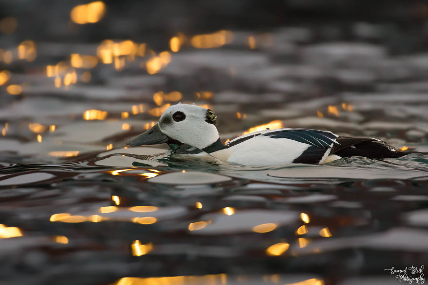 Drifting In The Reflections Of Harbour Lights, A Steller's Eider