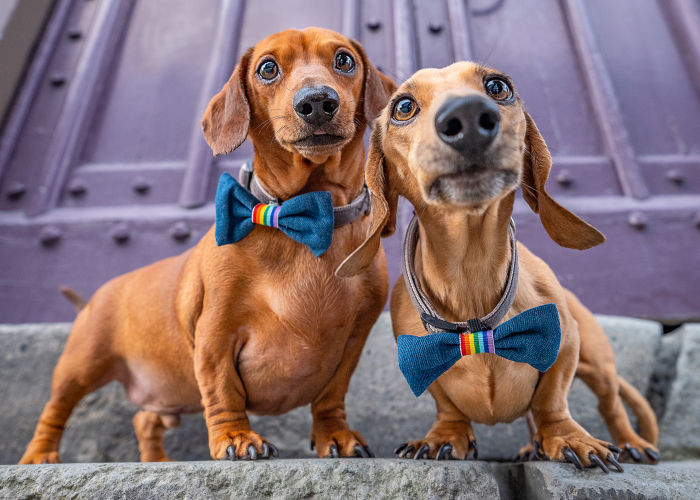 11 Wedding Pictures Of Adorable Dog Couples