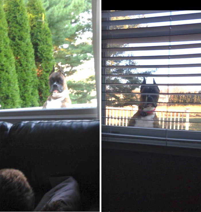 I Think My Neighbors Dog May Have Been A Peeping Tom In His Former Life! He's Always Looking In Our Windows To See If We're Home!