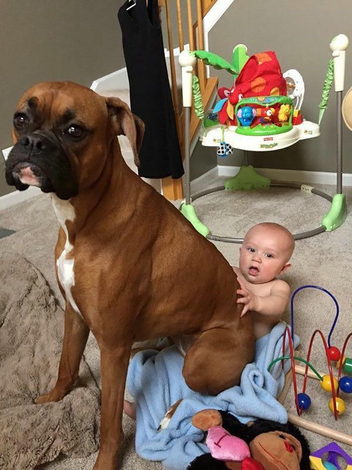 There Is No Lap Too Small For A Boxer