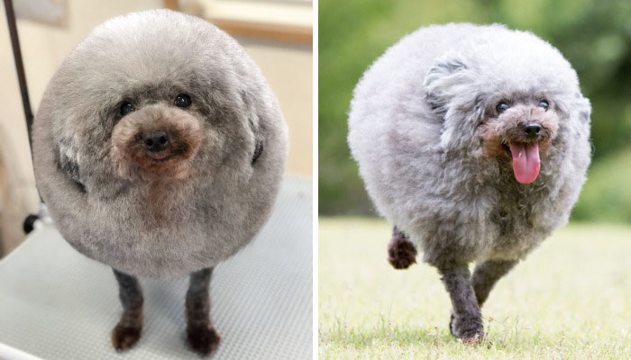 62 Dogs That Had The Makeovers Of Their Lives Done By Japanese Dog Groomer