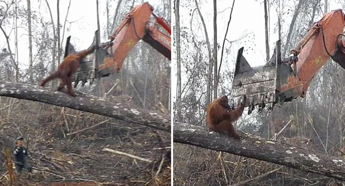 Lone Orangutan Fights Back In A Heartbreaking Video As Loggers Destroy His Home