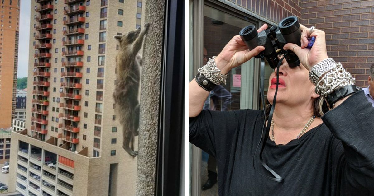 Internet Holds Its Breath As Raccoon Climbs A Skyscraper, And It Gets Scarier And Scarier With Every Pic
