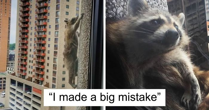 f2f24fea2a Internet Holds Its Breath As Raccoon Climbs A Skyscraper, And It ...