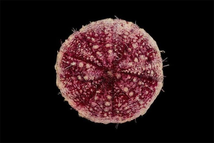 Pancake Urchin