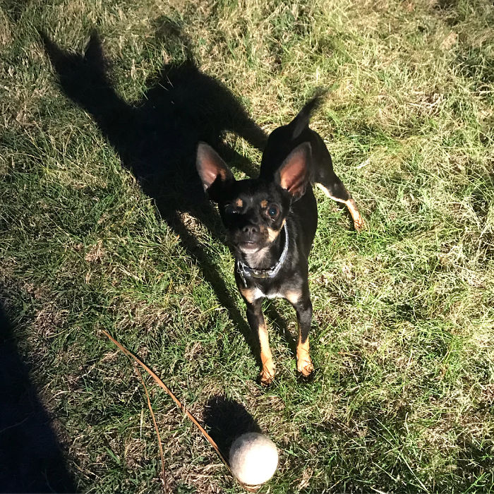 Late Game Of Fetch With Jose. Why Does His Shadow Look Like A Cat?