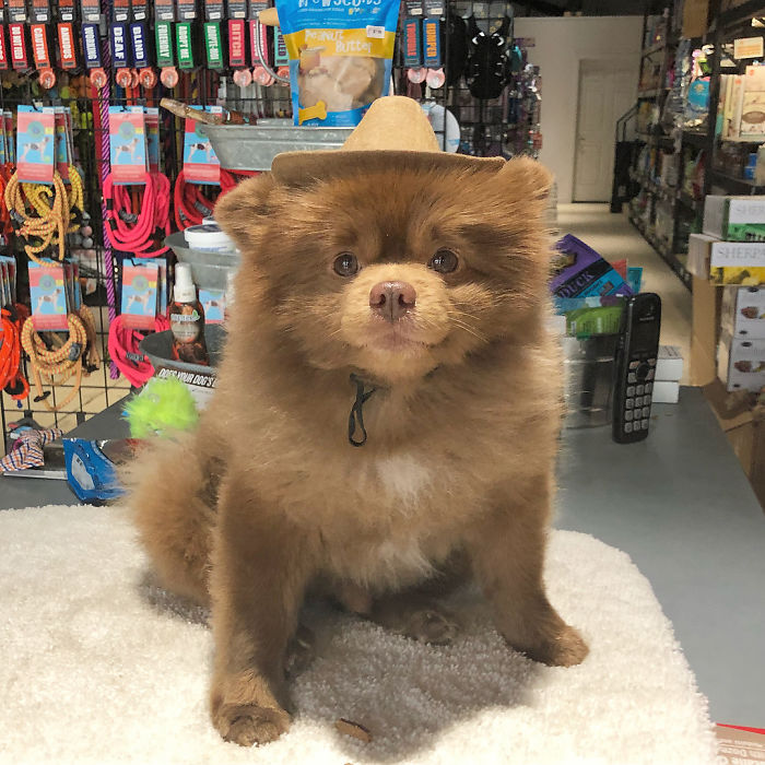 """Breeder Abandoned 5-Month-Old Pomeranian Because He Was """"Too Big"""", They Probably Regret It Now"""