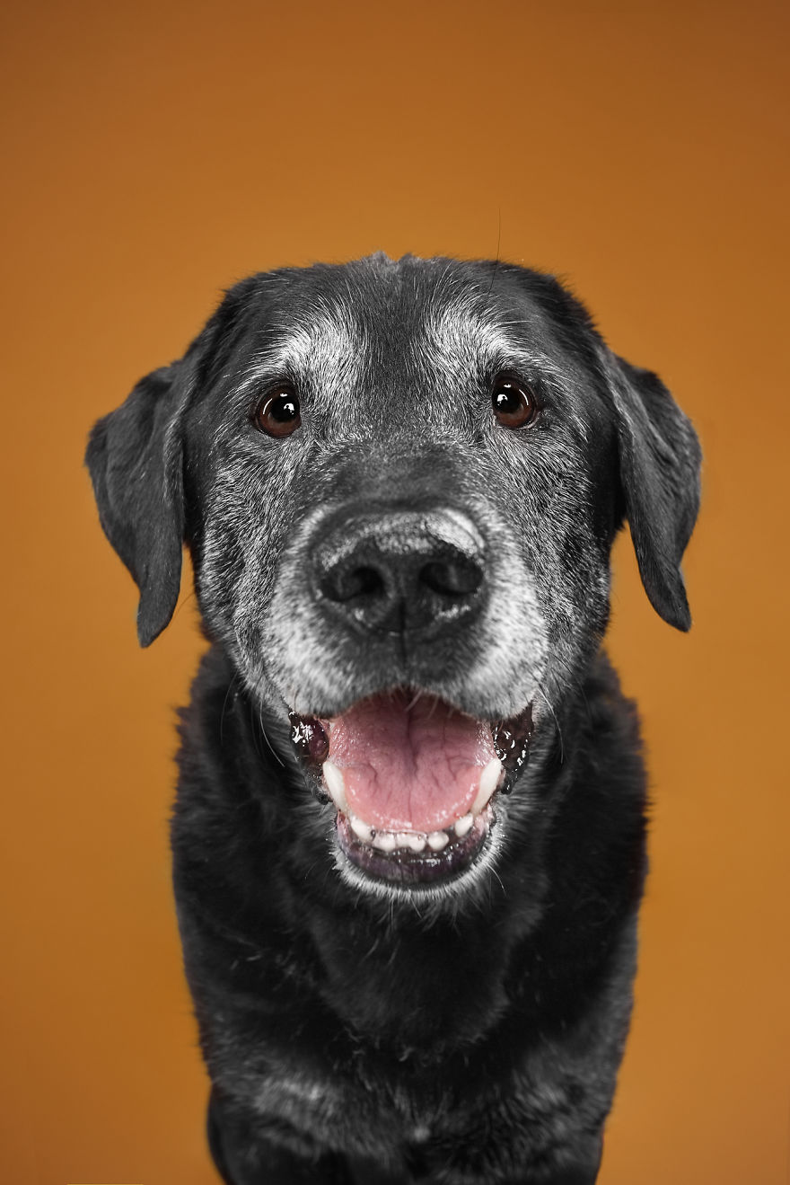 Alex, The Oldie And Happy Labrador