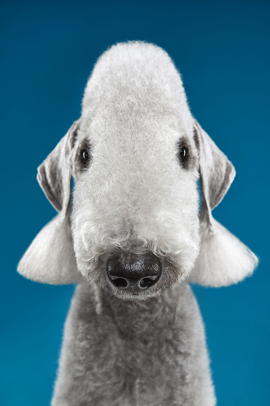 What If Alien Was A Sheep? Bedlington Terrier Is An Answer