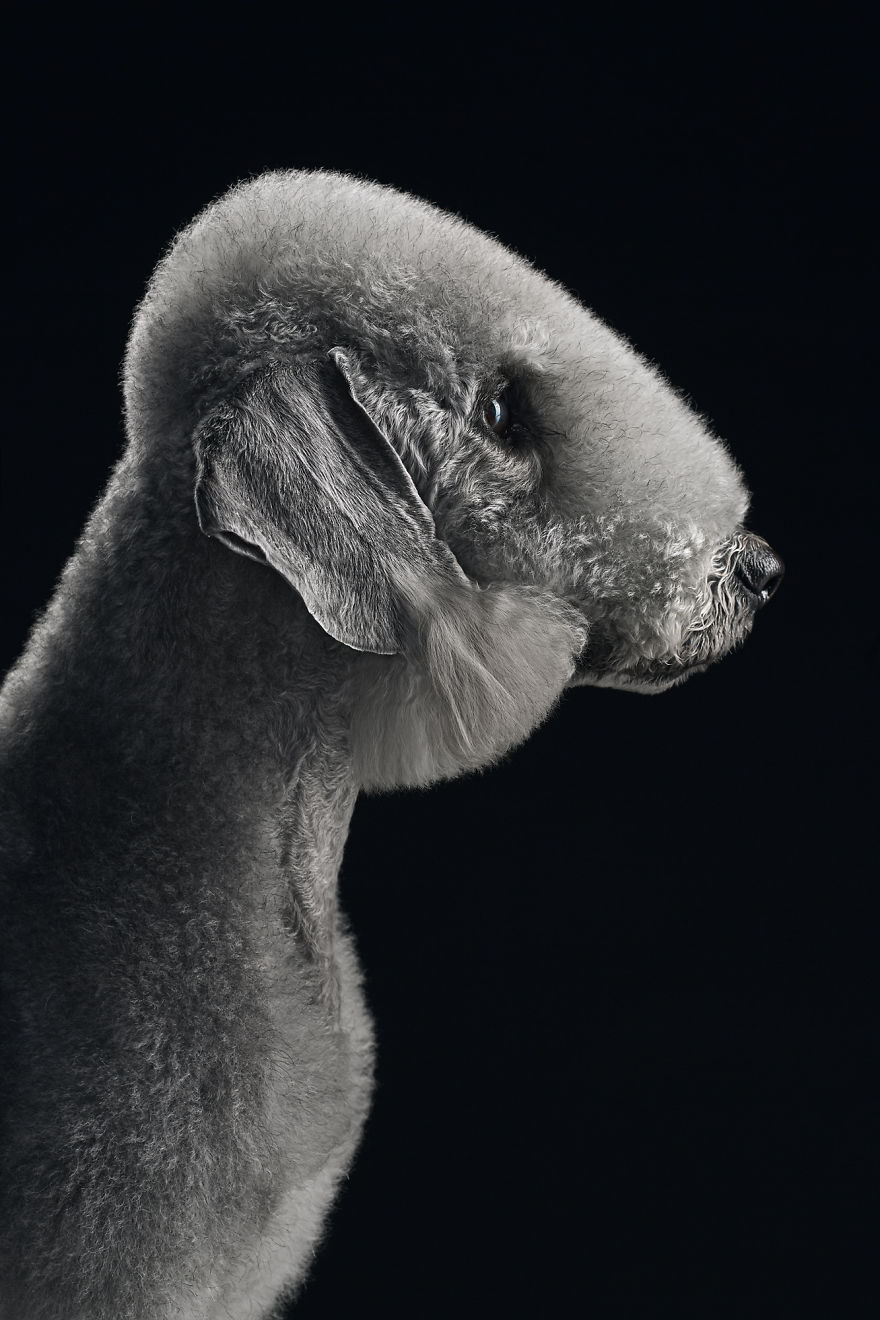 Till ,the Bedlington Terrier. Their Profiles Are Just Beautiful!