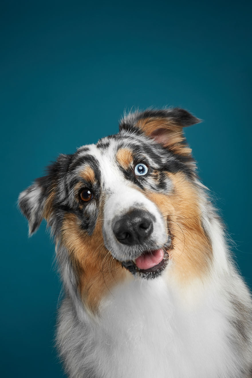 Fanta, The Curious Australian Shepherd Or Aussie