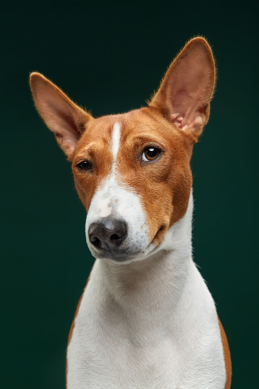 Fiji, The Basenji. Isn't It Ironic, Don't You Think?