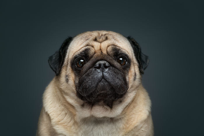 """This Pug Knows The Secret Of Famous """"Cat-From-Shrek"""" Look"""