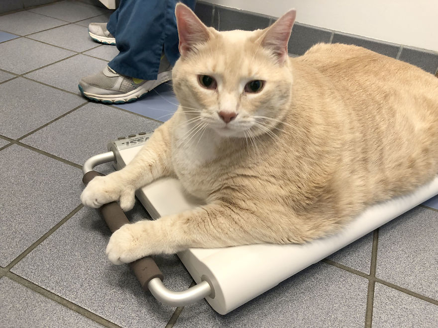 We Fell In Love With This 33-Pound Cat, So We Decided To Adopt Him And Start His Weight Loss Journey