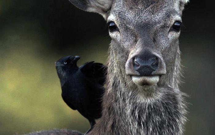 Man & Beast: The Deer Of Richmond Park