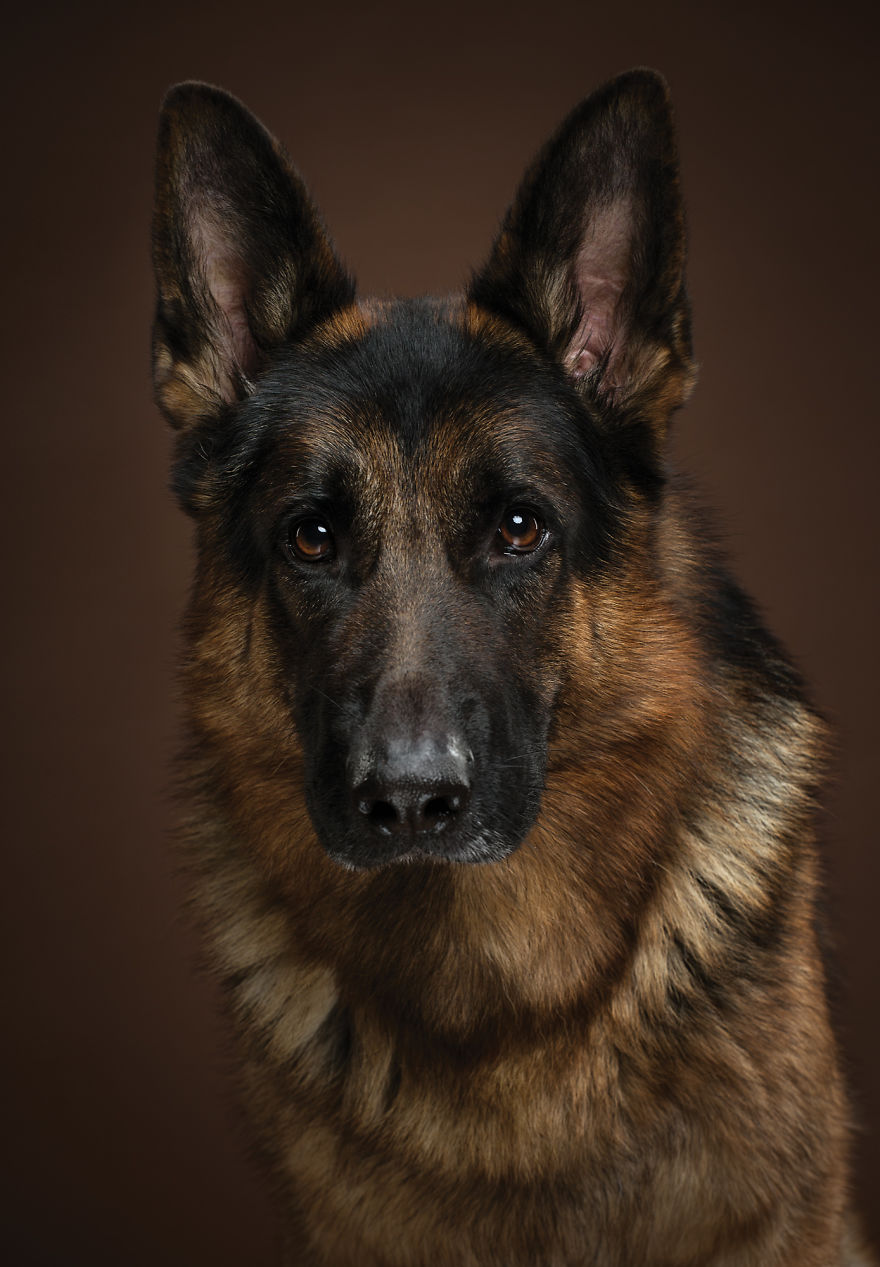 Tiger, The German Shepherd