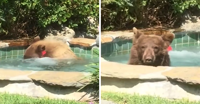 Guy Films Bear Chilling In His Jacuzzi Drinking A Margarita, But It Doesn't End There