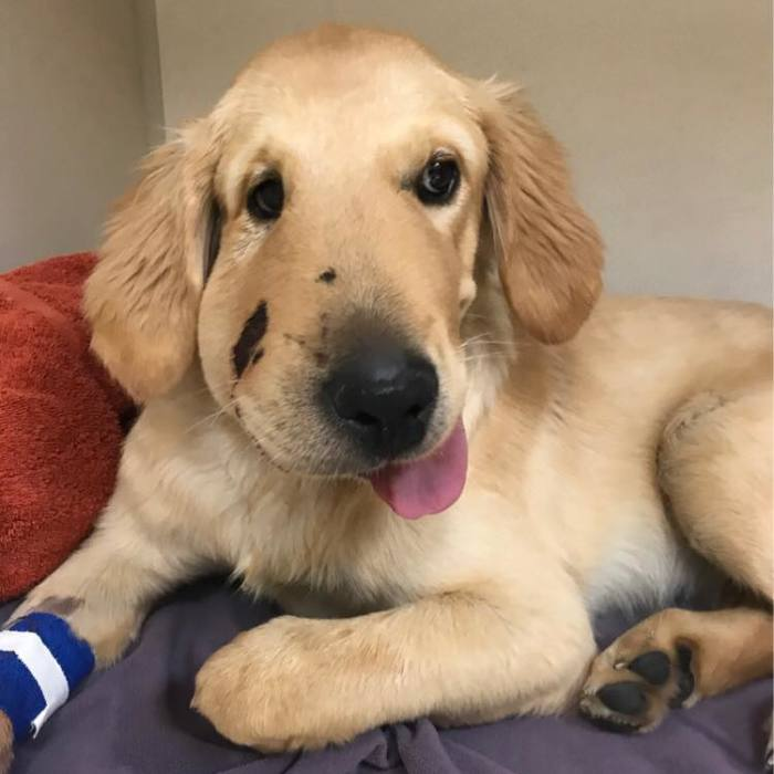 Hero Dog Gets Bitten By A Venomous Rattlesnake After Jumping In Front Of It To Save His Human