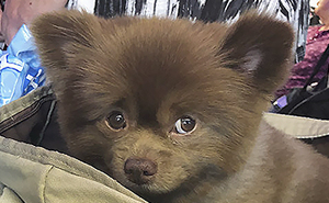 Breeder Abandoned 5-Month-Old Pomeranian Because He Was