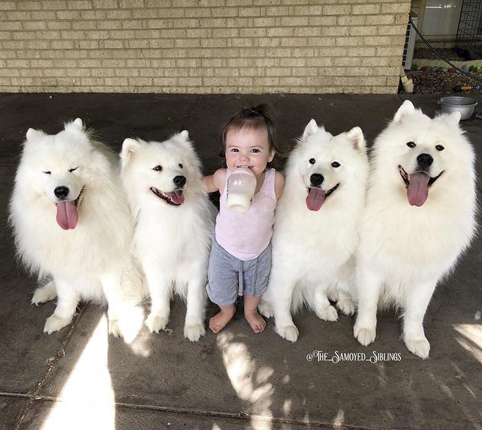 chien-bambin-famille-le-samoyède-frères et soeurs-sarah-hegarty-australie (15)