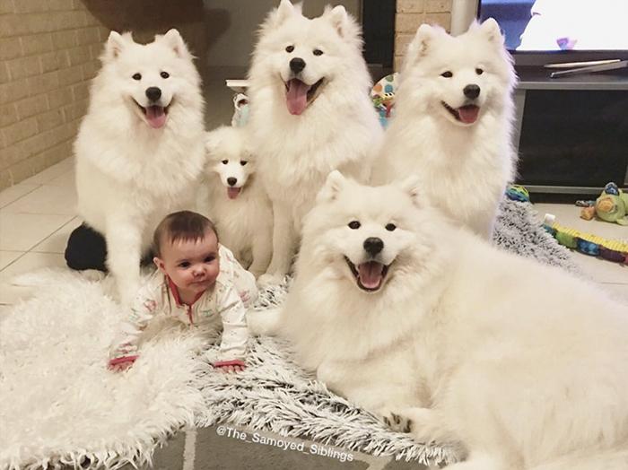 chien-bambin-famille-le-samoyède-frères et soeurs-sarah-hegarty-australie (3)