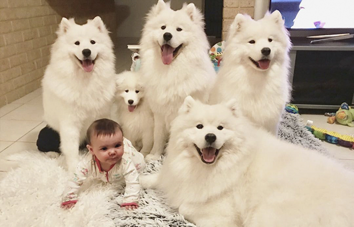 This Woman Shows What It's Like To Raise 2 Toddlers And 4 Samoyeds And It's Perfect