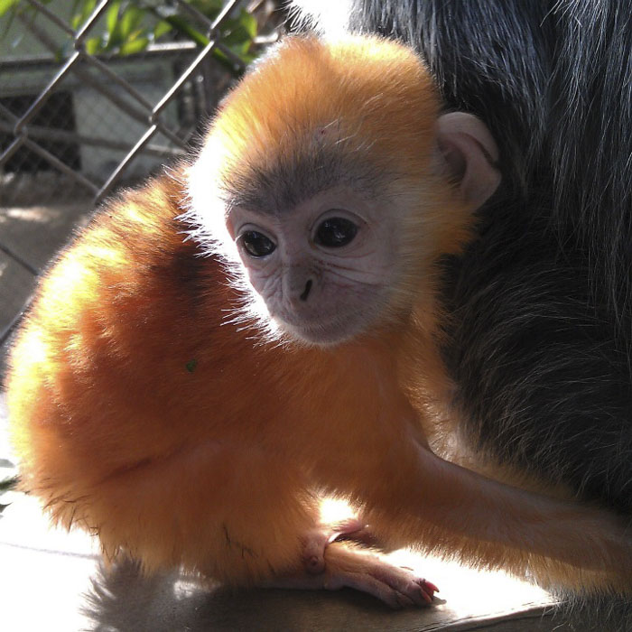 Langur Monkey's Baby Color