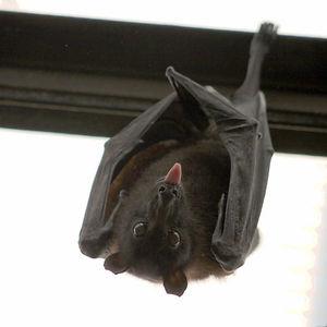 Bat's Population