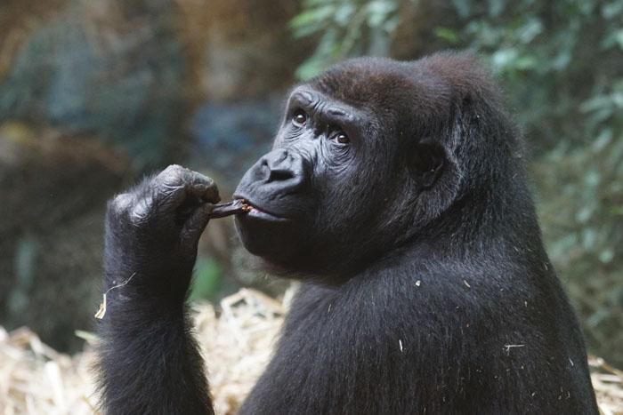 Do chimps masturbate