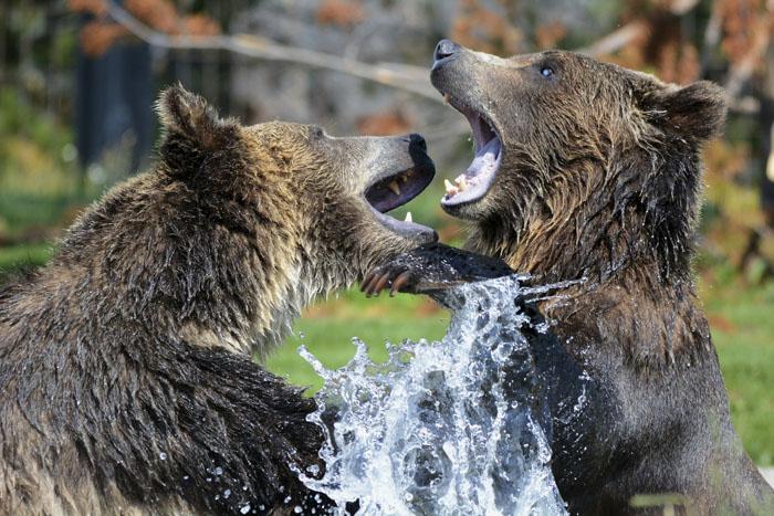 Grizzlies Vs. Brown Bears