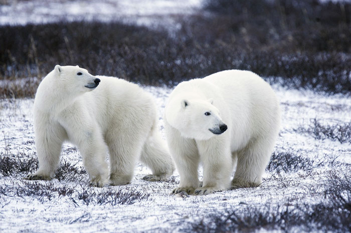 Polar Bears' Fur Color