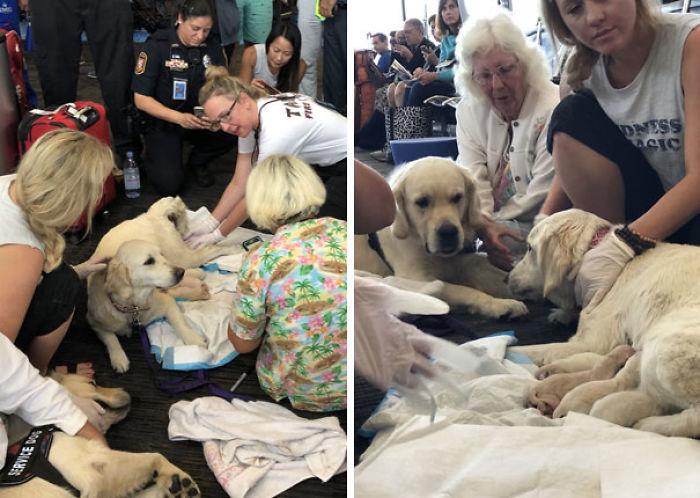 Con ayuda de paramédicos, esta perrita de servicio dio a luz a 8 cachorros en pleno aeropuerto de Tampa