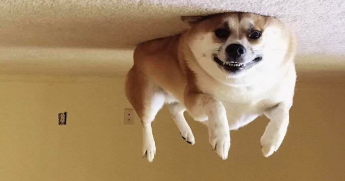 Image of: Cute 45 Hilarious dog Balloons That Floated Up To The Ceiling And Got Stuck Bored Panda Bored Panda 45 Hilarious dog Balloons That Floated Up To The Ceiling And Got