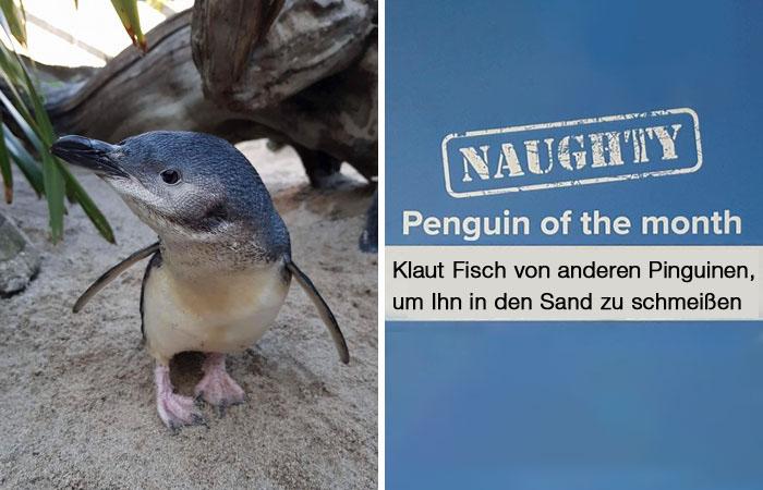 Dieses Aquarium kürt den gemeinsten Pinguin des Monats und die Taten sind zu lustig