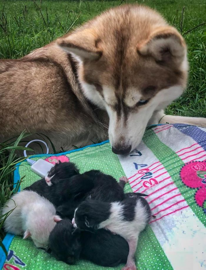 Hero Husky Finds A Box Full Of Near Dying Kittens In The Woods