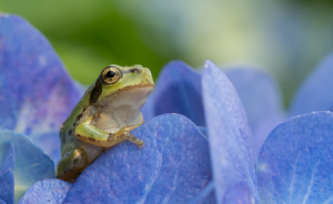 I Travel Around Japan To Photograph Tree Frogs On Hydrangeas