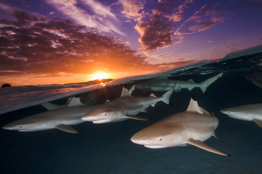 "Wide Angle Category: ""Blacktip Rendezvous"" By Renee Capozzola, USA"