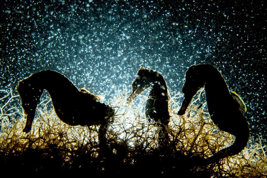 "Macro Category Winner: ""Seahorse Density"" By Shane Gross, Canada"