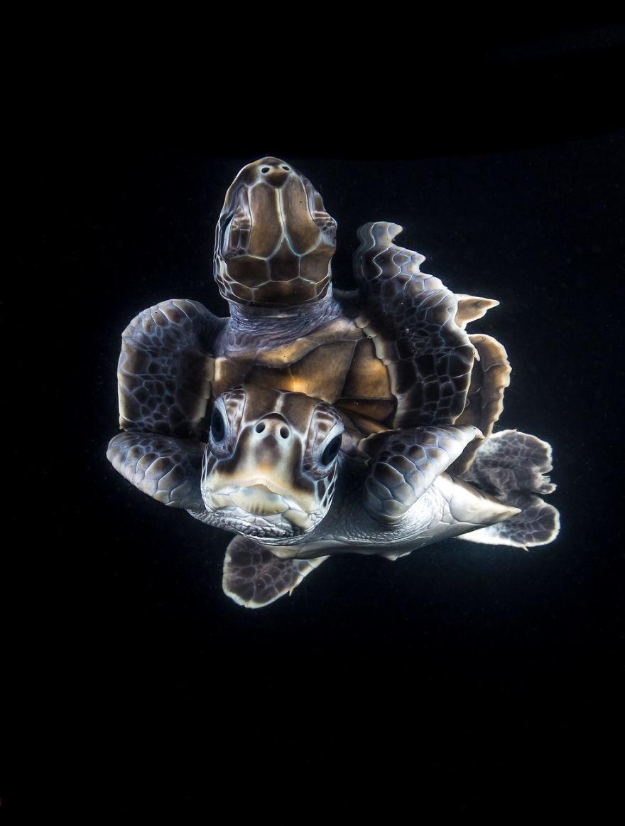 "Portrait Category: ""A Reflective Green Turtle Hatchling"" By Matt Curnock, Australia"