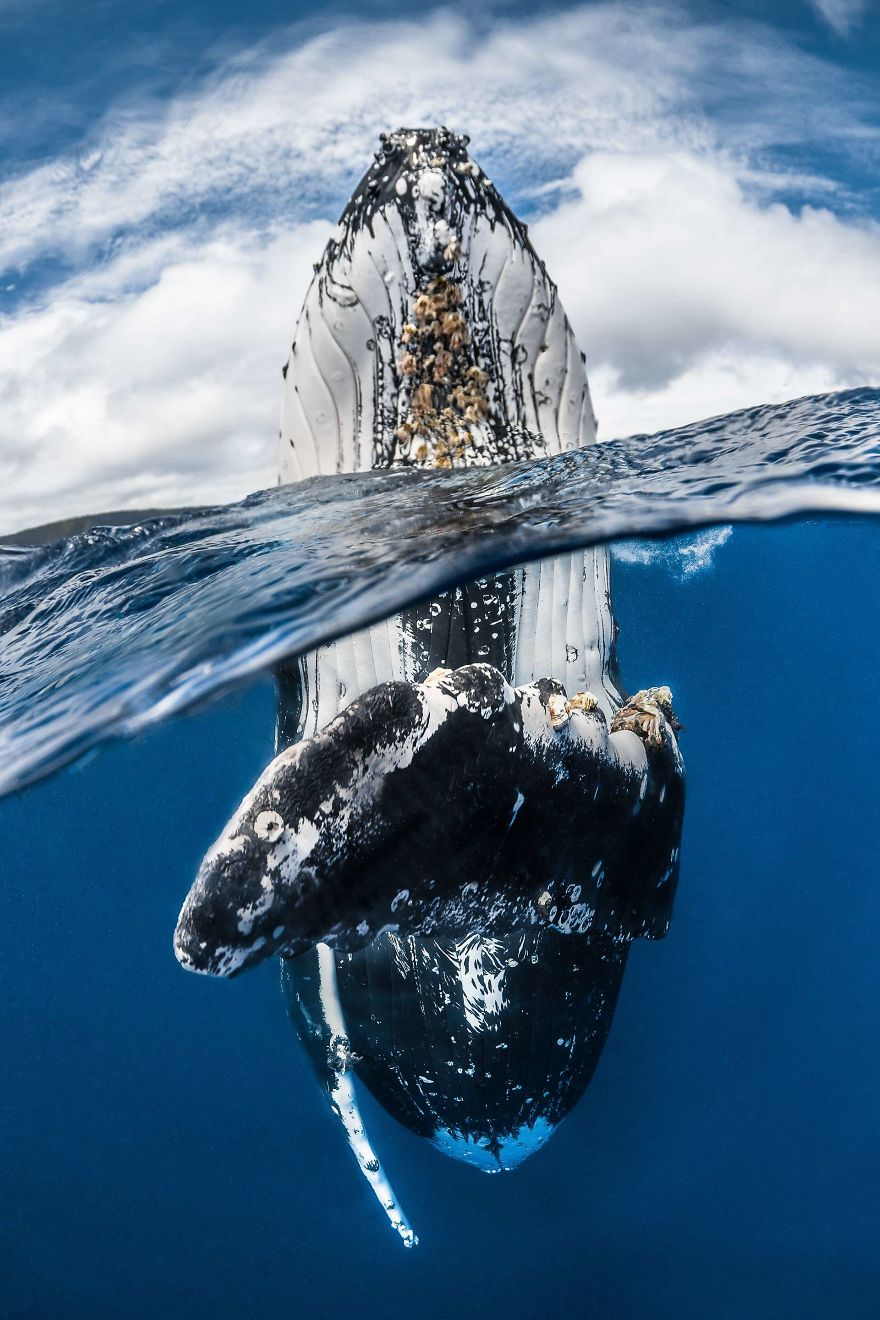 "Wide Angle Category Winner: ""Humpback Whale Spy Hopping"" By Greg Lecoeur, France"