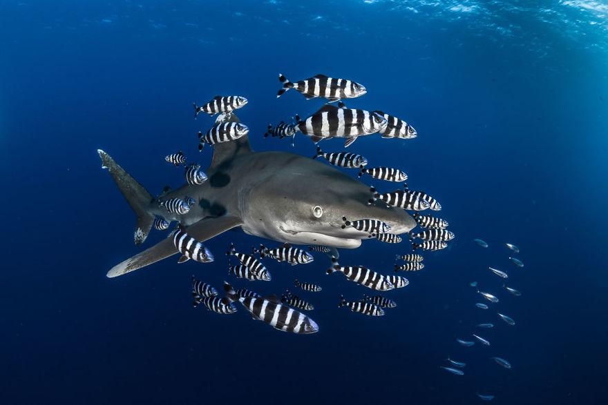 "Portrait Category: ""Oceanic White Tip Shark"" By Greg Lecoeur, France"