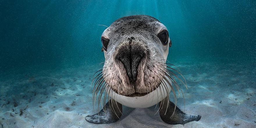 "Portrait Category: ""Australian Sea Lion"" By Greg Lecoeur, France"