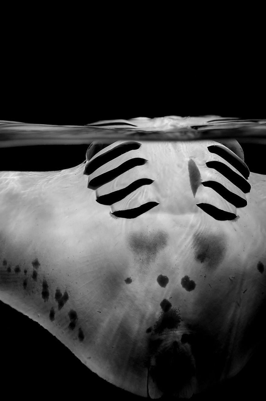"Black & White Category Runner Up: ""Graceful Manta"" By Sylvie Ayer, Switzerland"