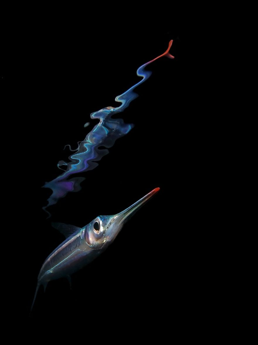 """Compact Category: """"Night Reflection Of A Juvenile Garfish"""" By Jack Berthomier, New Caledonia"""