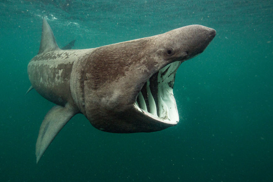 """British Waters Wide Angle Category: """"Basking Shark Feeding"""" By Will Clark, UK"""