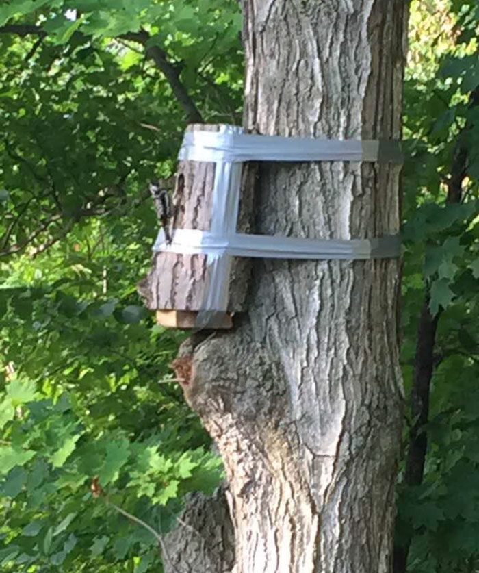 Fallen Tree Was Found With Woodpecker Nest Inside. Section With Nest Was Cut Out And Taped To A Nearby Tree, Successfully Bringing The Mother Back