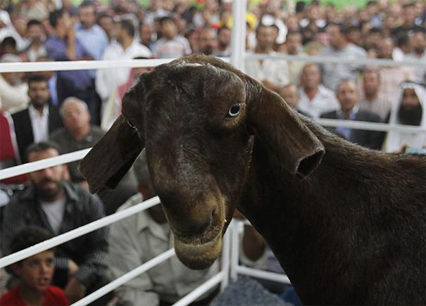 Weird-Ugly -Shami-Damascus-Goat-Monster-Animals