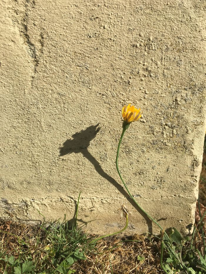 The Shadow Of This Closed Flower Looks Like An Open Flower